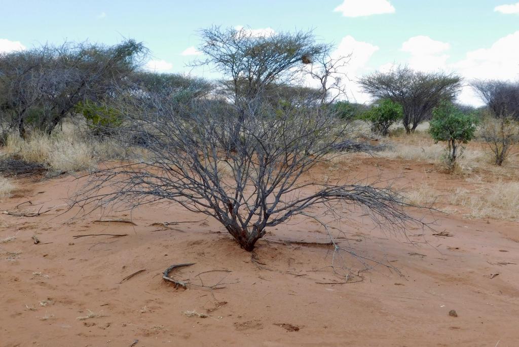 Acacia reficiens.