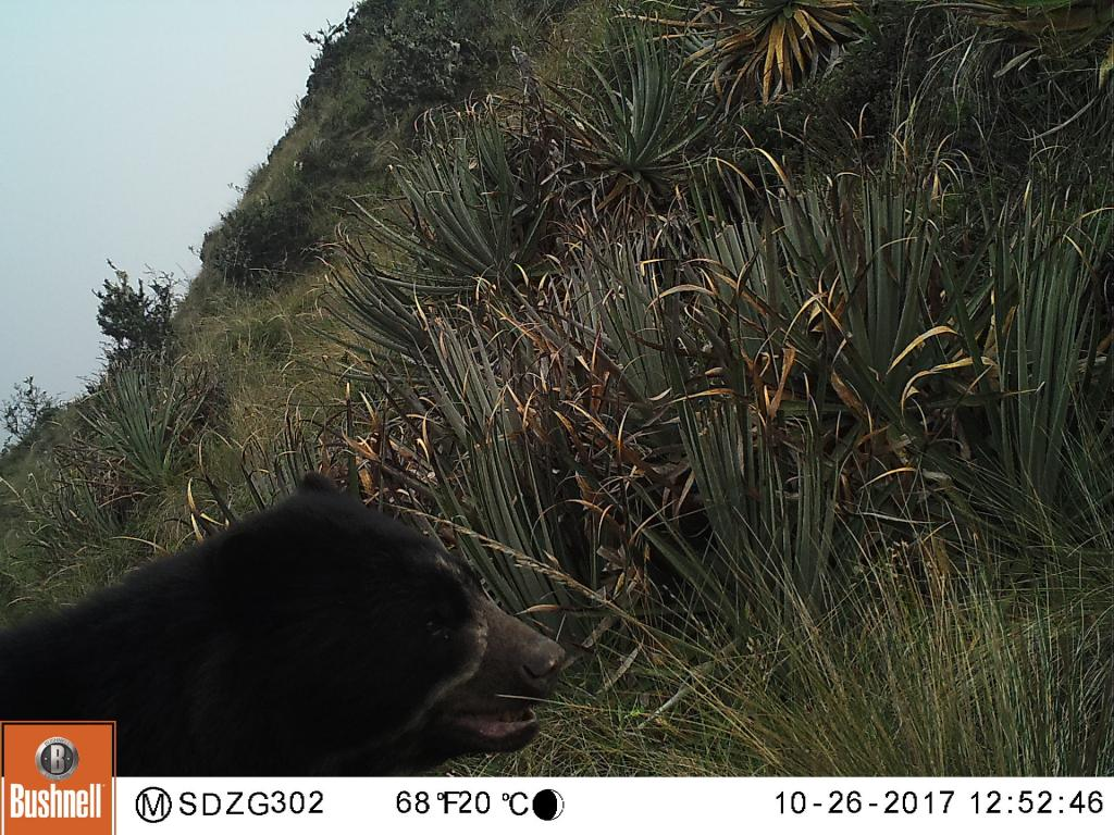An adult male Andean bear wanders past our cameras in the grasslands of southeastern Peru.