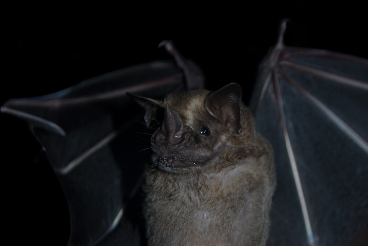 "Artibeus lituratus: Male bat captured in the forests of Cocha Cashu, during the project ""Seed dispersal by fruit bats"".  Photo credit Orlando Zegarra"