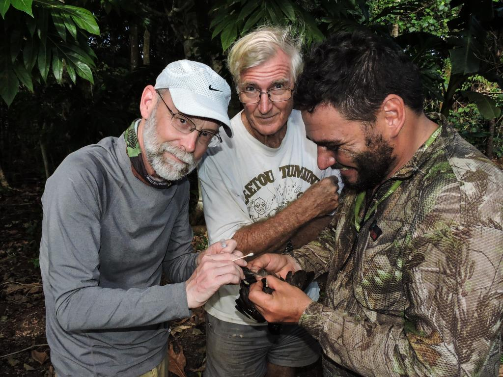 Bruce Rideout collecting samples from a common mynah on Atiu for disease surveillance.