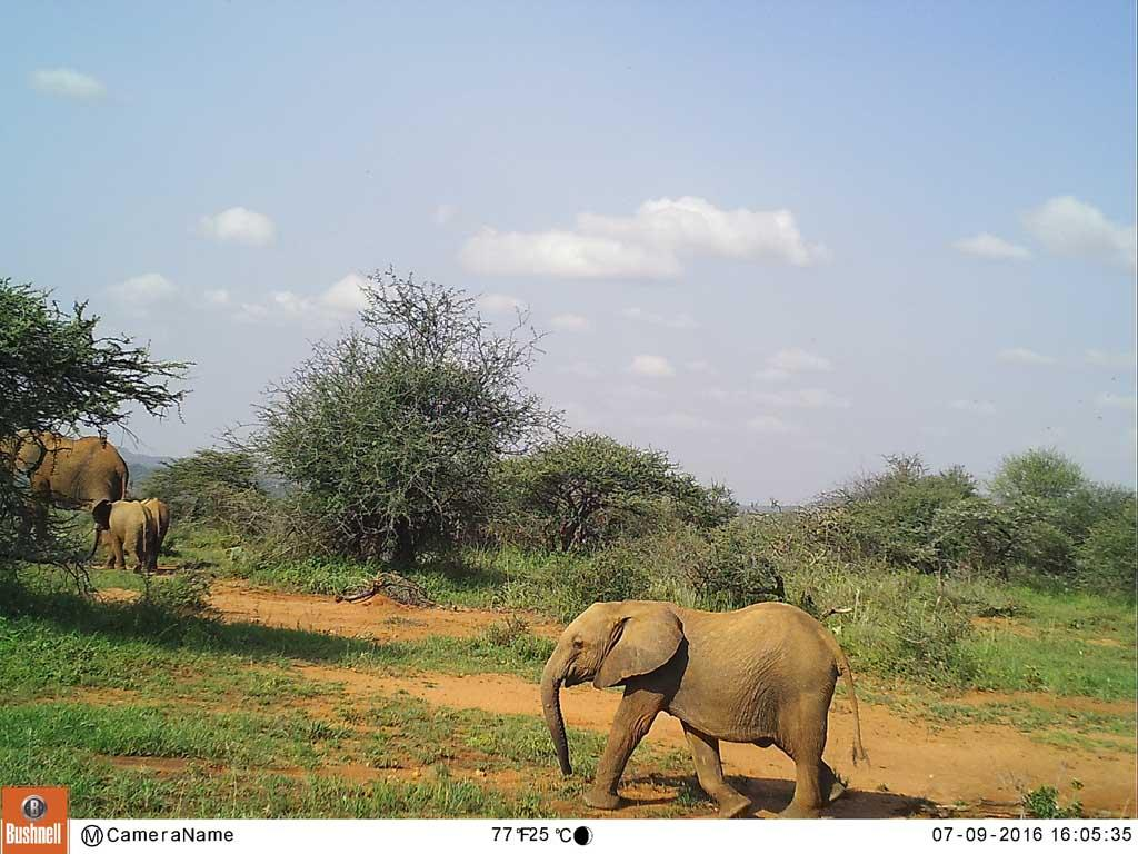 Youngsters in a herd indicate a healthy population.
