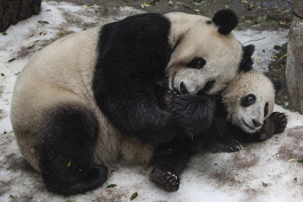 Bai Yun and her sixth cub, Xiao Liwu.