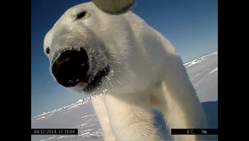 Nose-to-nose social interaction between two wild polar bears on the Beaufort Sea.
