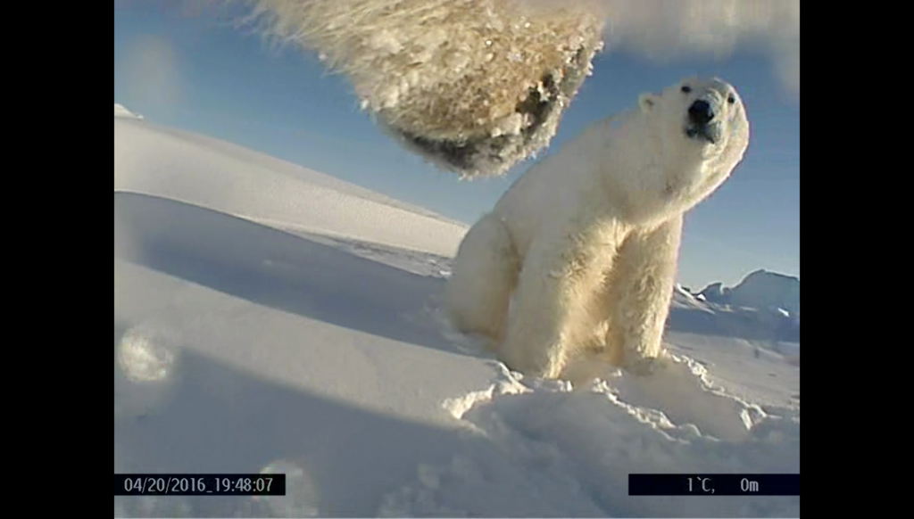 The social lives of solitary polar bears on the sea ice of the Beaufort Sea is viewable thanks to point of view video cameras mounted on tracking collars.