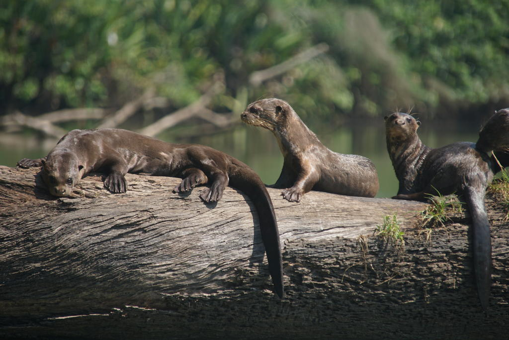 A giant otter family group rests on a log. Photo: Adi Barocas