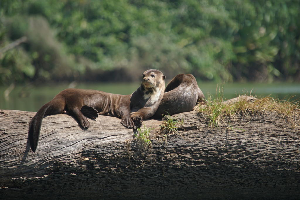 Giant otters resting in the sun on a log. Credit: Adi Barocas