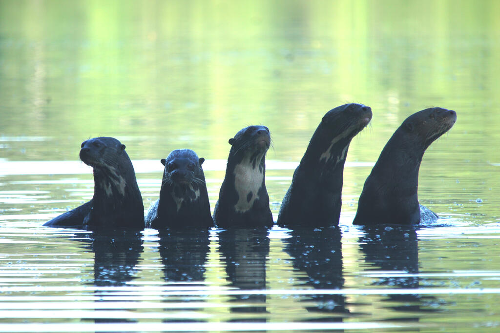 Giant otter group in a lake in the gold mining area.