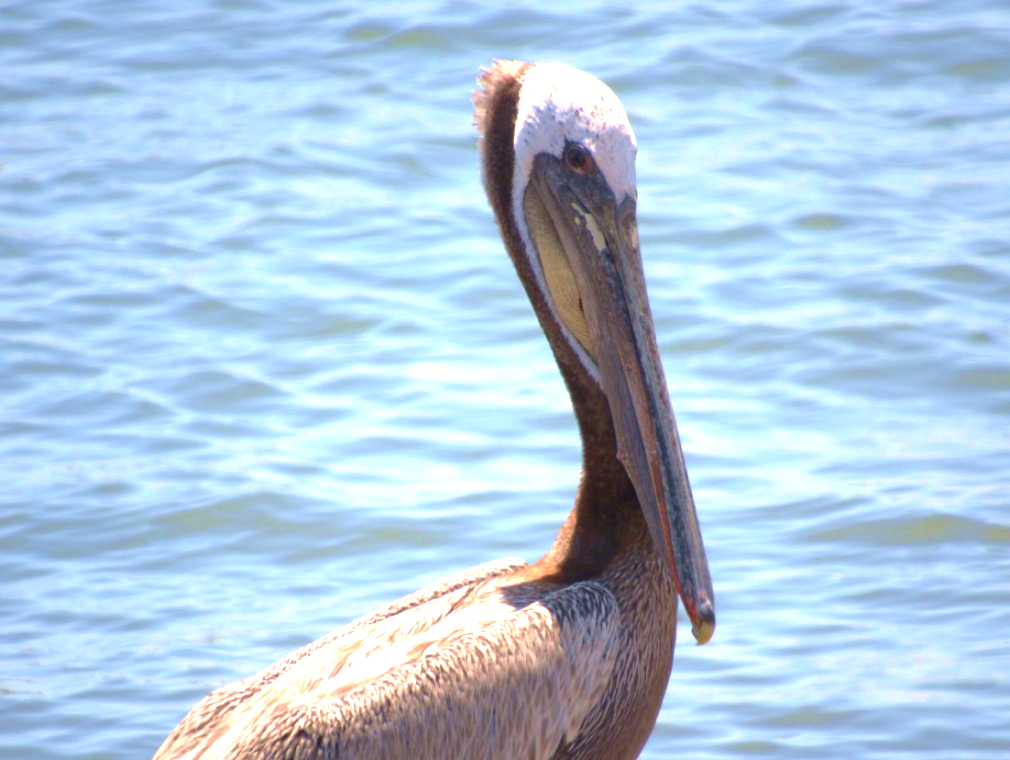 Domoic acid bioaccumulates as it goes up the food chain and can harm fish-eating birds like Brown Pelicans. (Photo by A. Calhoun)