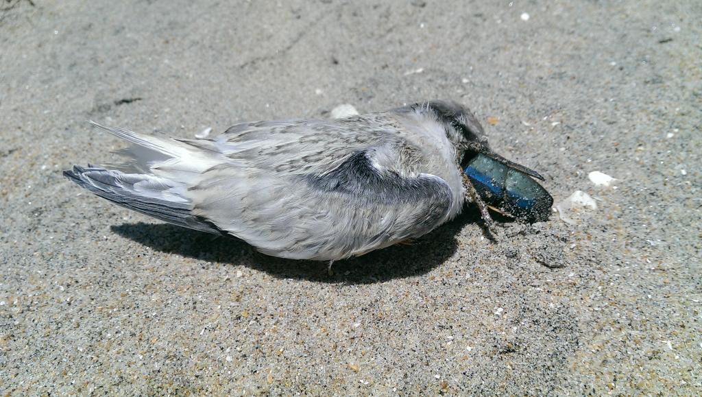 California least tern fledgling that died choking on a rubber fishing lure on Coronado Island (Photo by Katrina Murbӧck, courtesy of Naval Base Coronado).