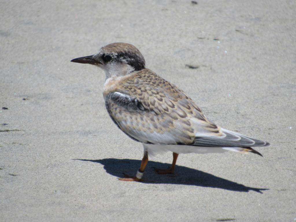 Typical California least tern fledgling. Photo by Maggie Lee Post.
