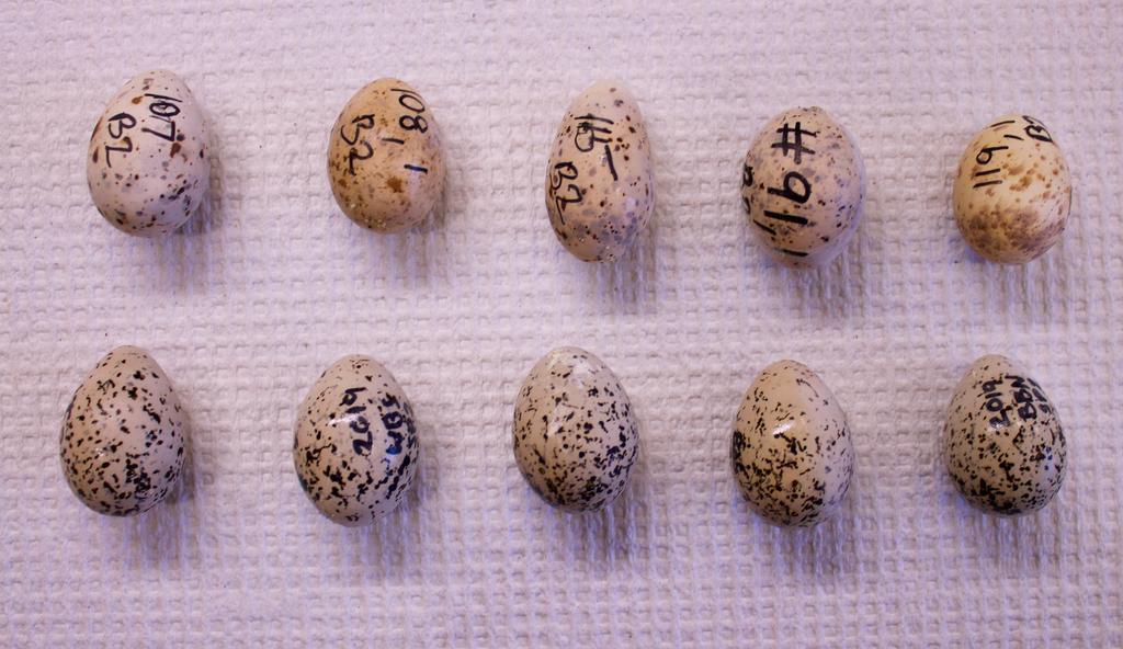 Examples of phenotypic variation among eggs. Top row: California least tern. Bottom row: Western snowy plover. (Photo by Josh De Guzman)