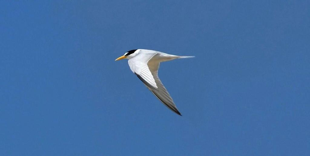 The year-round distribution of California Least Terns remains largely unknown outside of the breeding season. (Photo: E. Rice; courtesy of Naval Base Coronado).