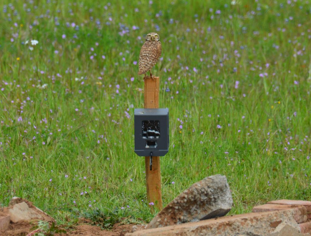 Female burrowing owl, Orange A, who chose to nest with a wild male instead of her original mate, Orange H. She is perched on a camera trap.