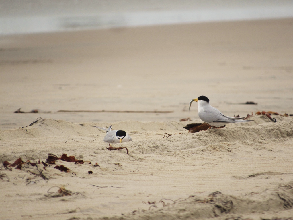 A California Least Tern brings its partner a fish during a courtship display. (Photo by M. L. Post)