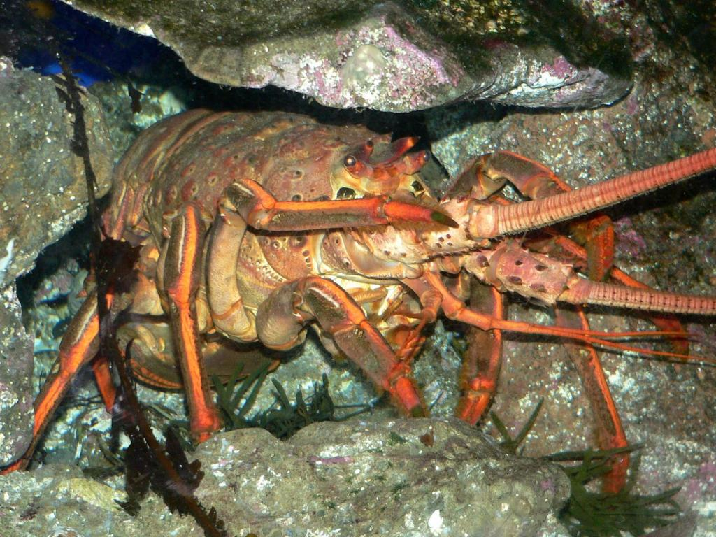 California Spiny Lobster, a common poaching target (creative commons sourced).