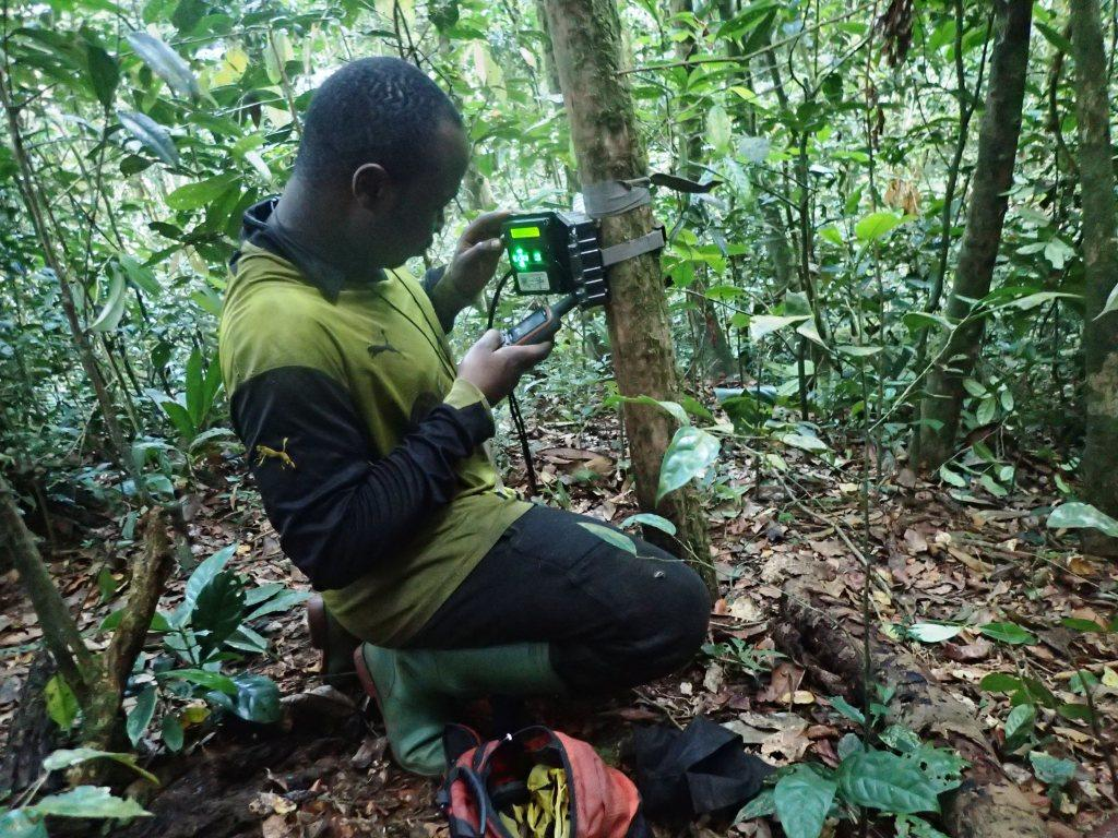 Researcher installing field camera in gorilla habitat. Photo by Djemba Alexis.