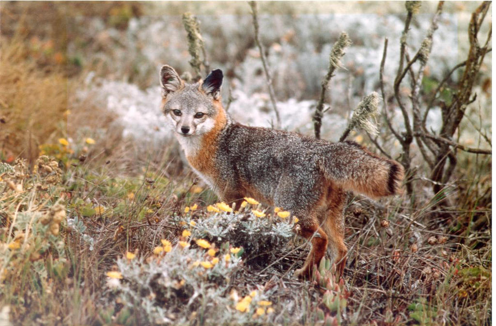 This Santa Catalina island fox, a small, endemic mammal on Santa Catalina Island, has an elevated risk of developing cancer in its ears due to genetics and mite infections.