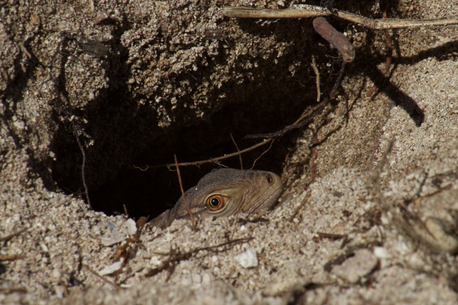 A hatchling Sister Isles Rock Iguana checking the surroundings from the emergence hole it dug along with its siblings to exit their underground nest.