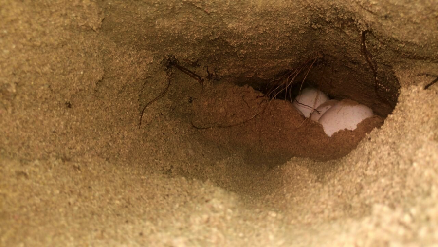 An egg chamber. The soil used by females to dig nests is mostly sandy, but there are cases in which nests are dug in very rocky and less sandy areas. Reaching the egg chamber in those cases is very labor-intensive.