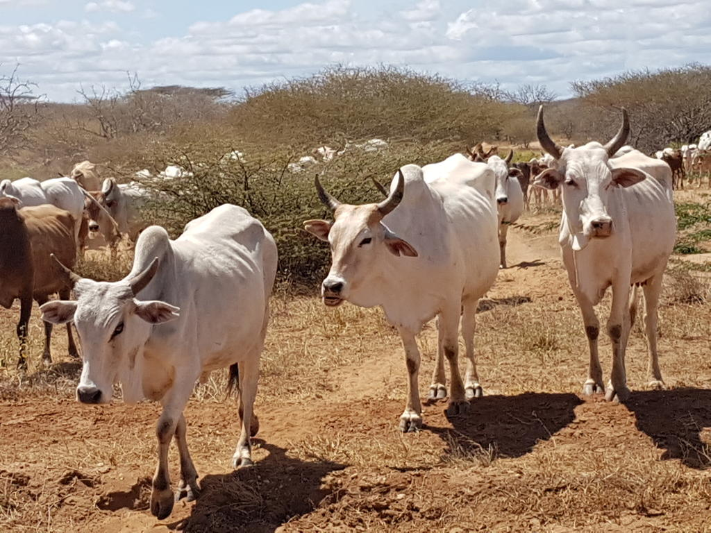 Pastoralist herd of cattle grazing on lands shared with wildlife, including the endangered hirola.