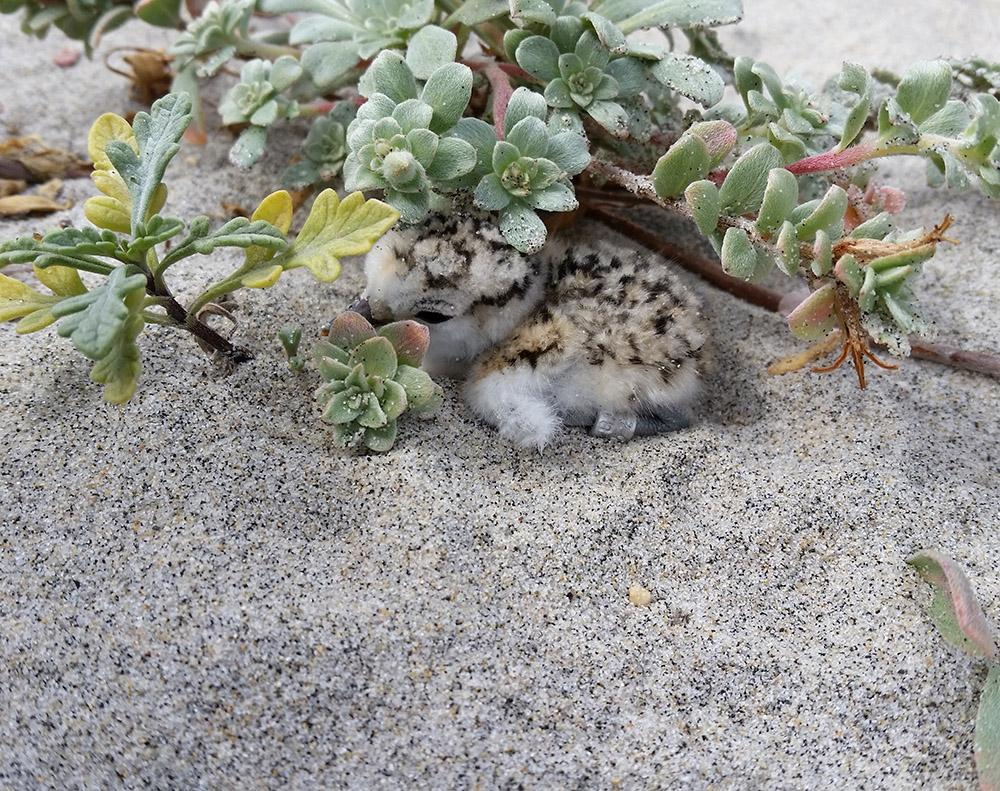 A snowy plover chick's cryptic coloration provides excellent camouflage.