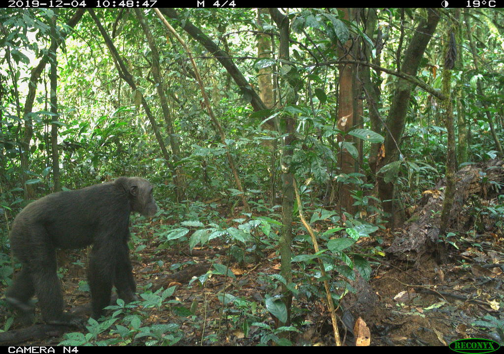 Chimpanzee strolling past a field camera in the Ebo forest.