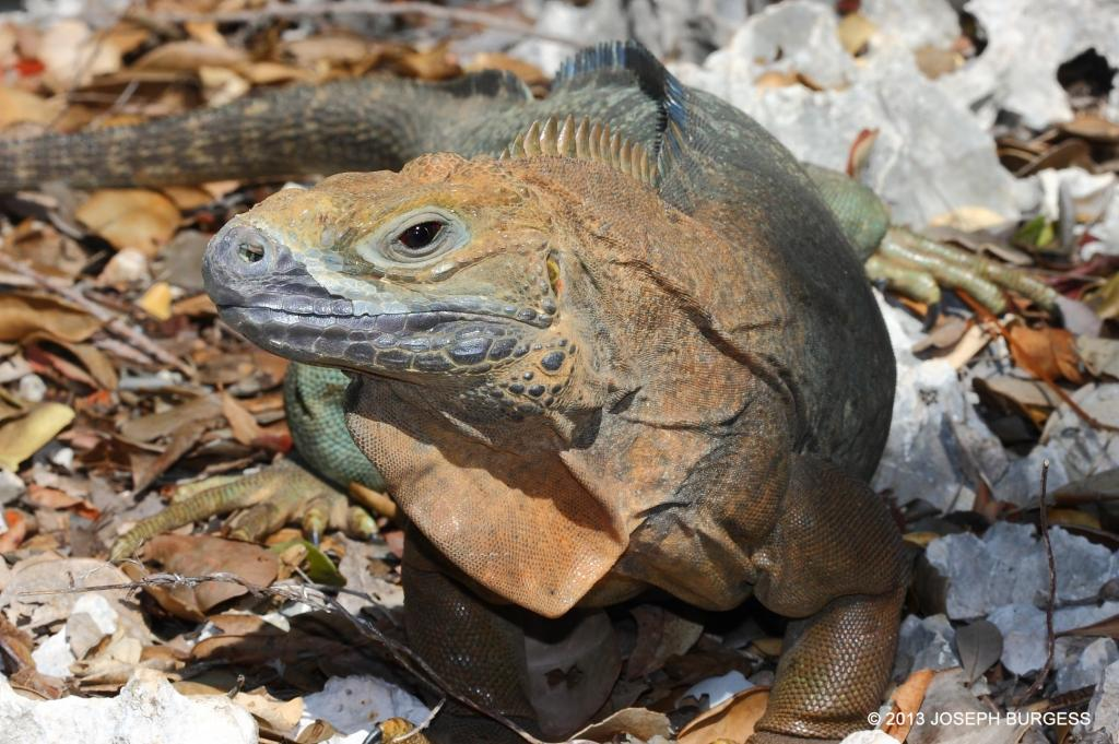 Headstarting these iguanas is helping them recover. Photo by Joe Burgess.