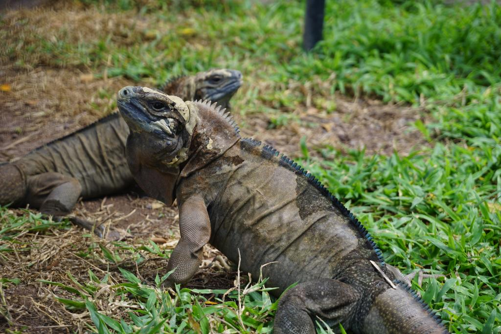 Iguanas awaiting release now that they are large enough to fend off non-native mongooses. Photo by Nick Gordon.