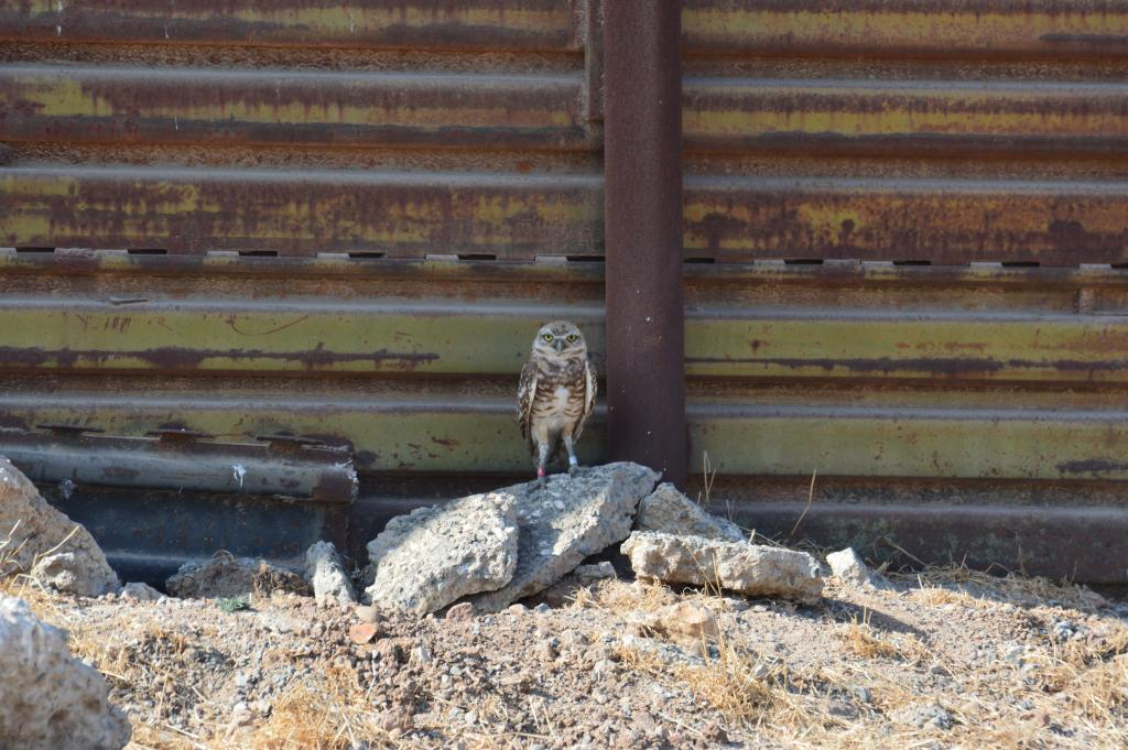 An owl hanging around the U.S.A-Mexico international border fence.