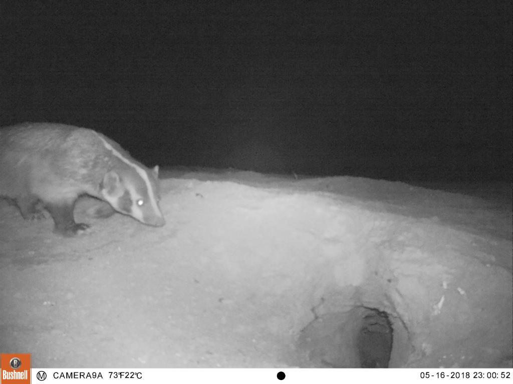 A badger visiting an owl burrow in Imperial Valley.