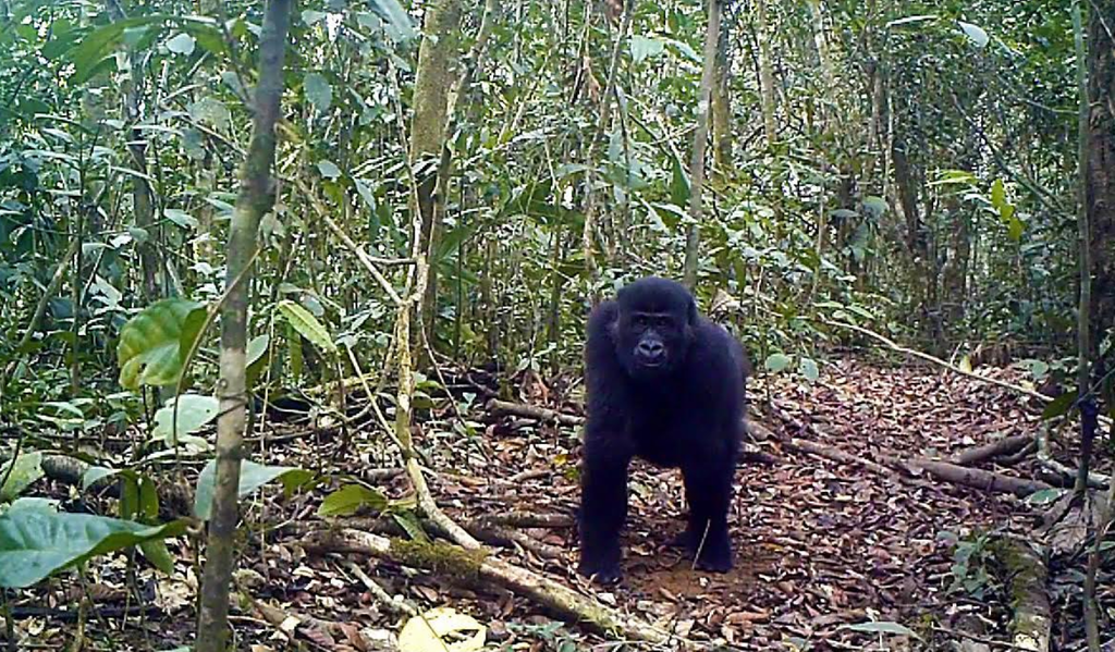 A beautiful Ebo gorilla image taken by a field camera.