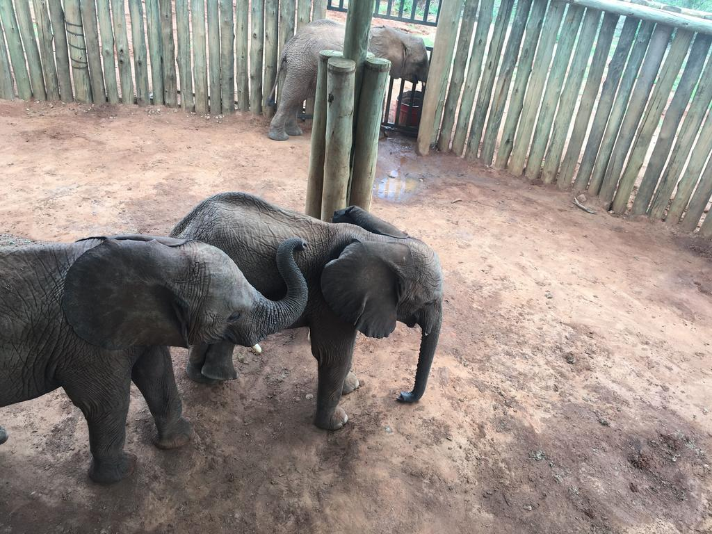 What are the effects of poaching on African elephant calves, and what role do microbiomes play in their long term health? Photo: Shifra Goldenberg