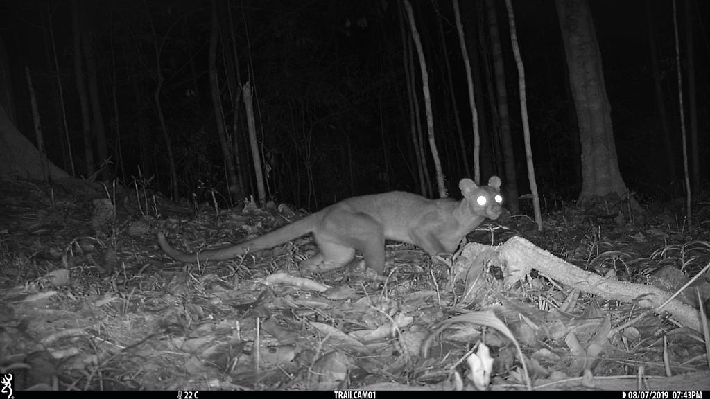 Fossa (Cryptoprocta ferox) searching for the forest for its next meal.