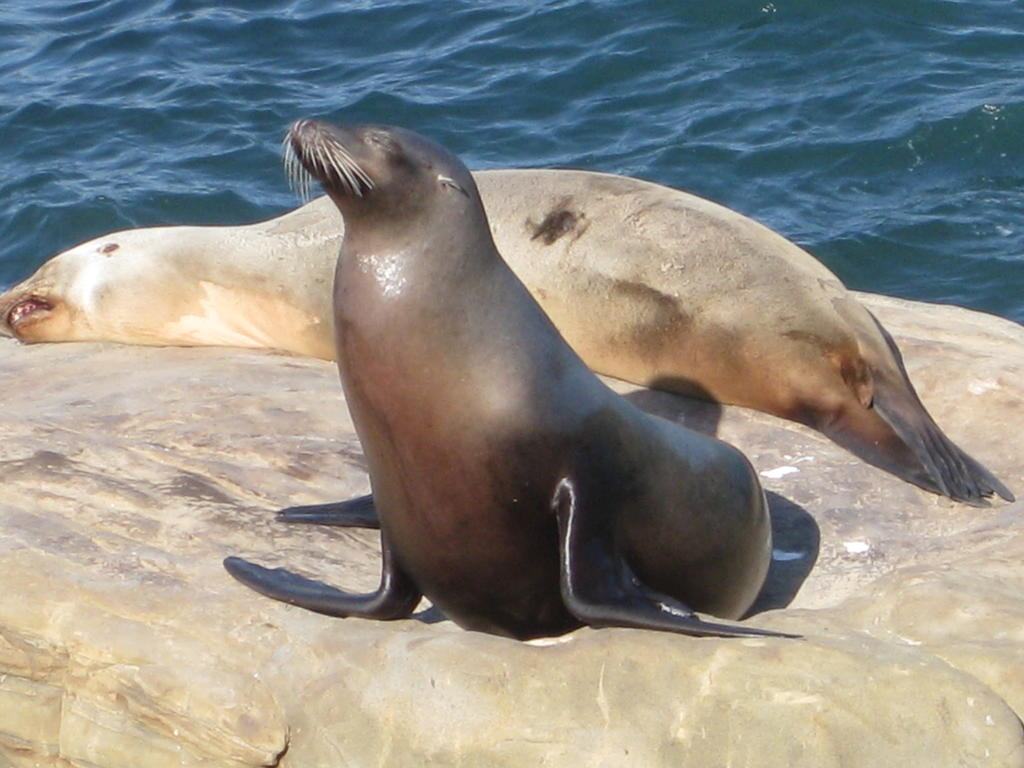 California sea lions exposed to contaminants and viruses are susceptible to cervical cancer.