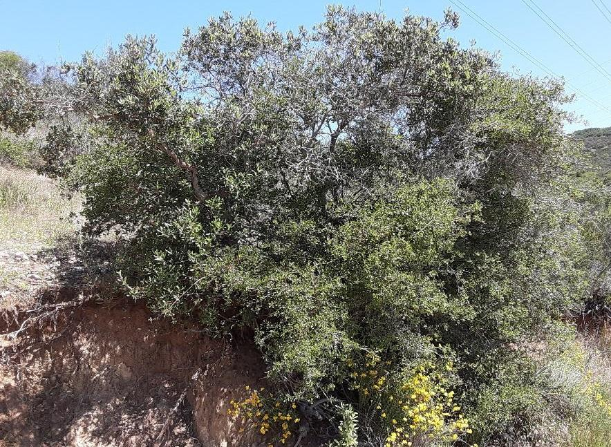 Though short compared to other oak trees, Quercus dumosa is still considered a canopy species of the chaparral.