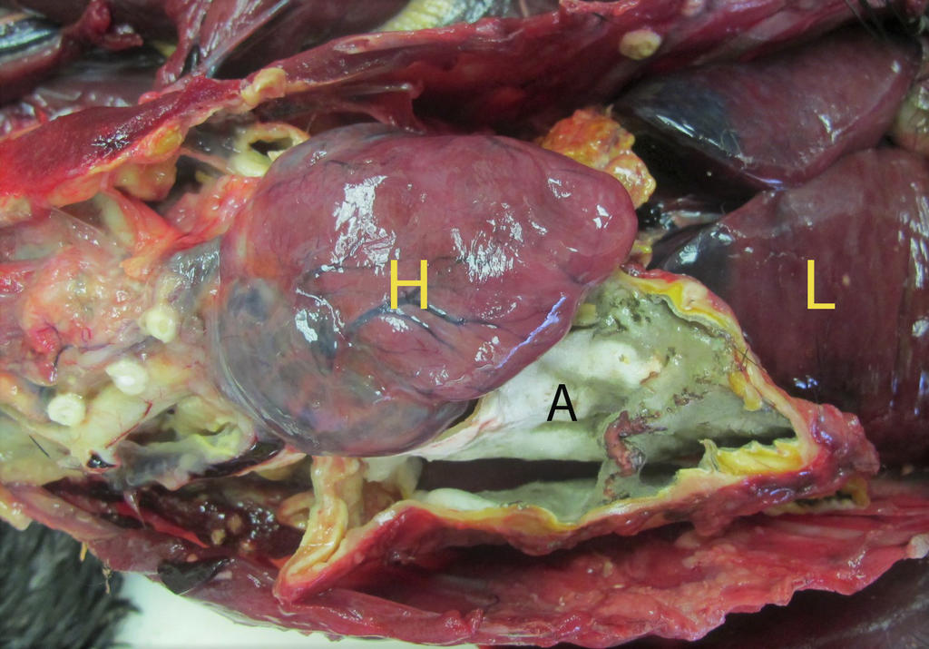 Figure 1: This necropsy image comes from a wild cormorant with severe respiratory aspergillosis. Note the marked thickening and fuzzy green to white coating of an air sac (A) between the heart (H) and liver (L).