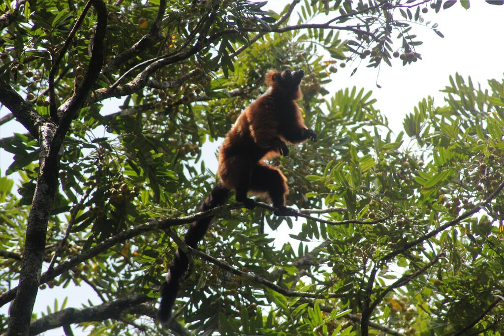 A Critically Endangered red ruffed lemur (Varecia rubra) forages on fruits in Masoala National Park. As the largest pollinator and seed disperser in Madagascar, this species is vital for the survival and growth of forest habitat.