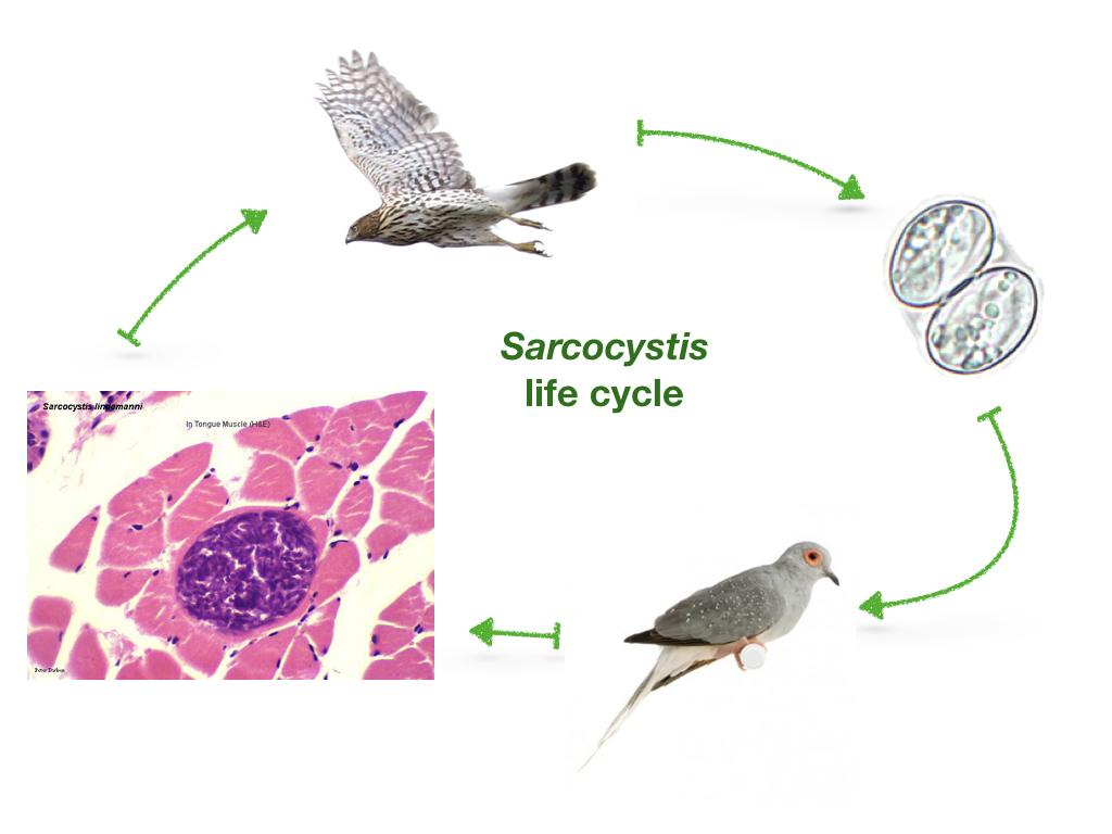 Figure 2. Proposed life cycle of Sarcocystis calchasi, with Cooper's hawk as definitive host and diamond dove as intermediate host.
