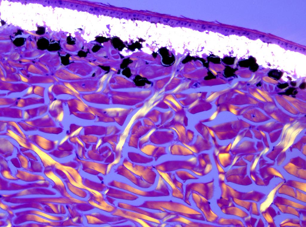 Reptile skin under polarized light shows the amazing birefringence of the special pigment of their iridophores and of the collagen in their dermis.