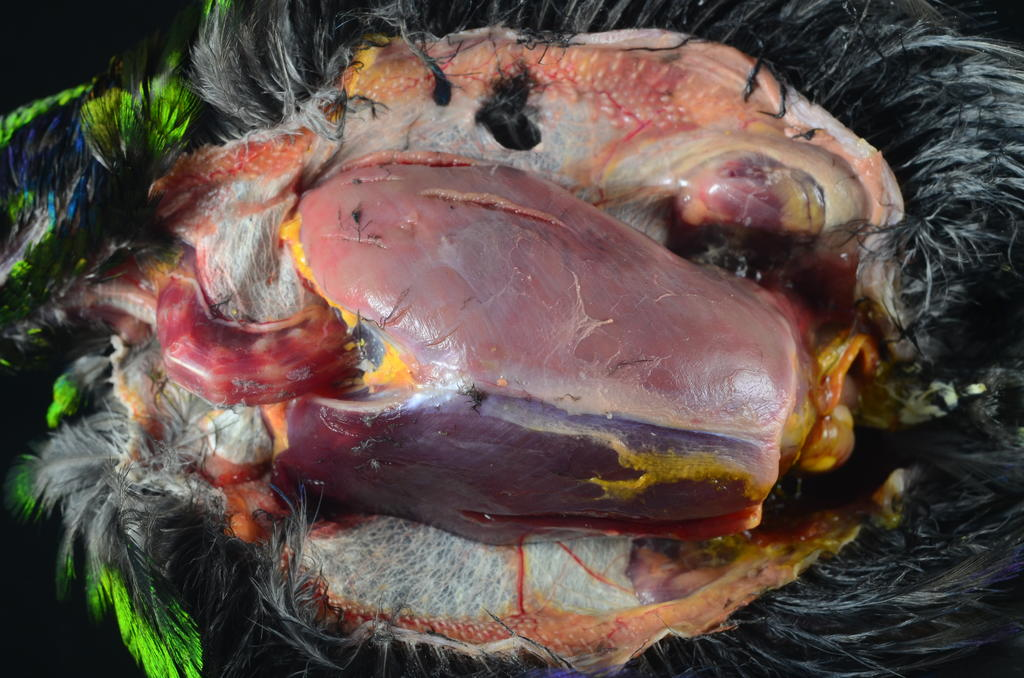 Figure 3: Note the pale tan/pink discoloration of the left (top) pectoral muscle in this starling. This entire muscle has become infarcted (tissue death from loss of blood supply) as a result of vascular aspergillosis obstructing its blood supply.