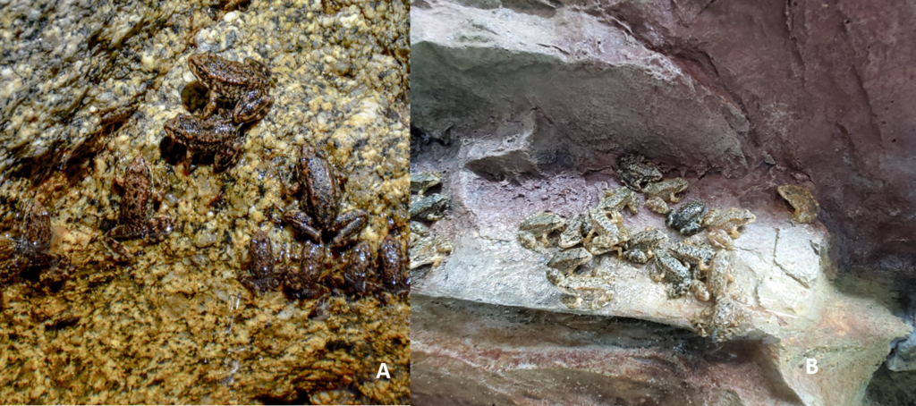 A. Metamorphs climbing and resting on rocky outcrops in their natural habitat. B. Metamorphs in human care climbing and resting on 3-dimensional backgrounds within their tanks.