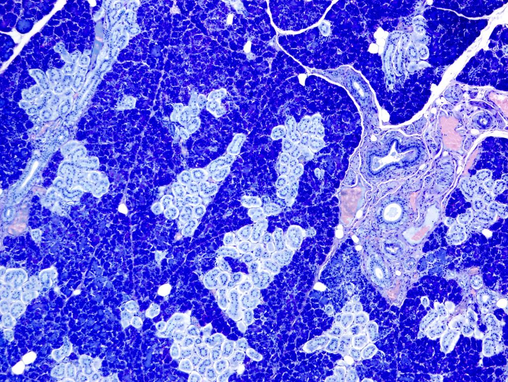The beautiful shades of blue in this section of pancreas are imparted by a Giemsa stain.