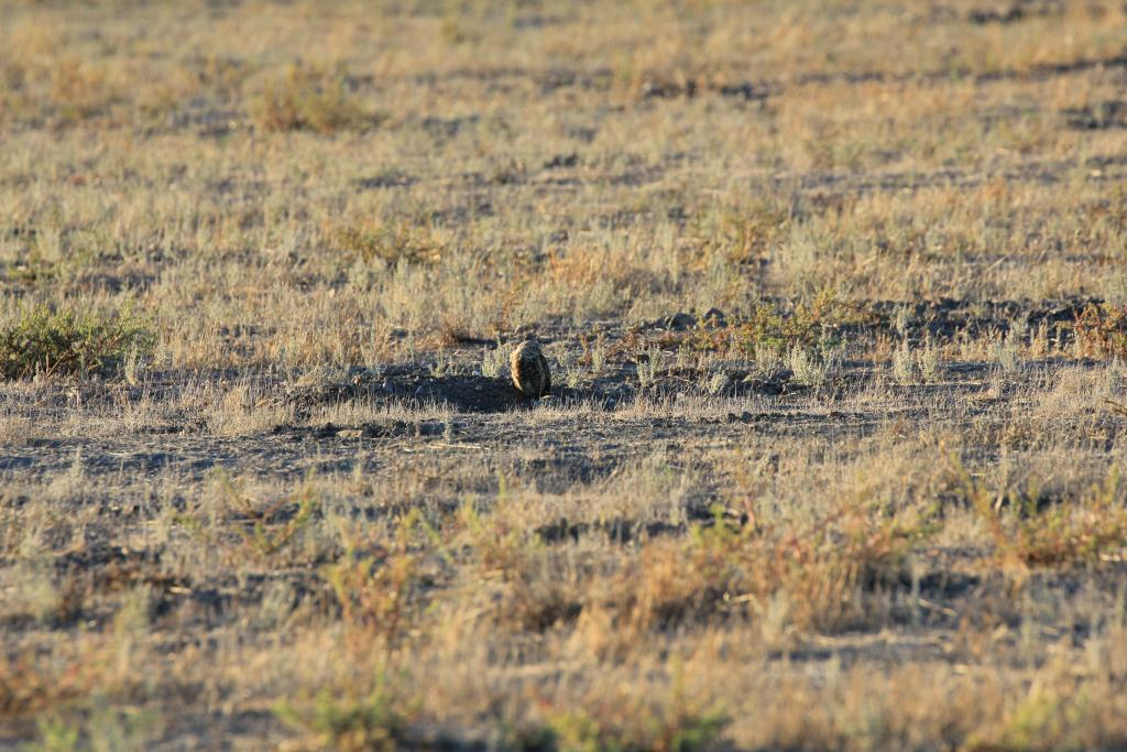 Figure 1. Burrowing owl habitat in San Diego County, with a male owl out enjoying his lovely yard (and his mate hunkered in the burrow entrance).