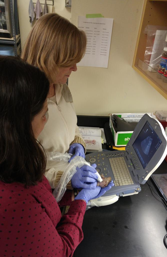 Ultrasound imaging is used to check the health and status of the female frogs' reproductive system.
