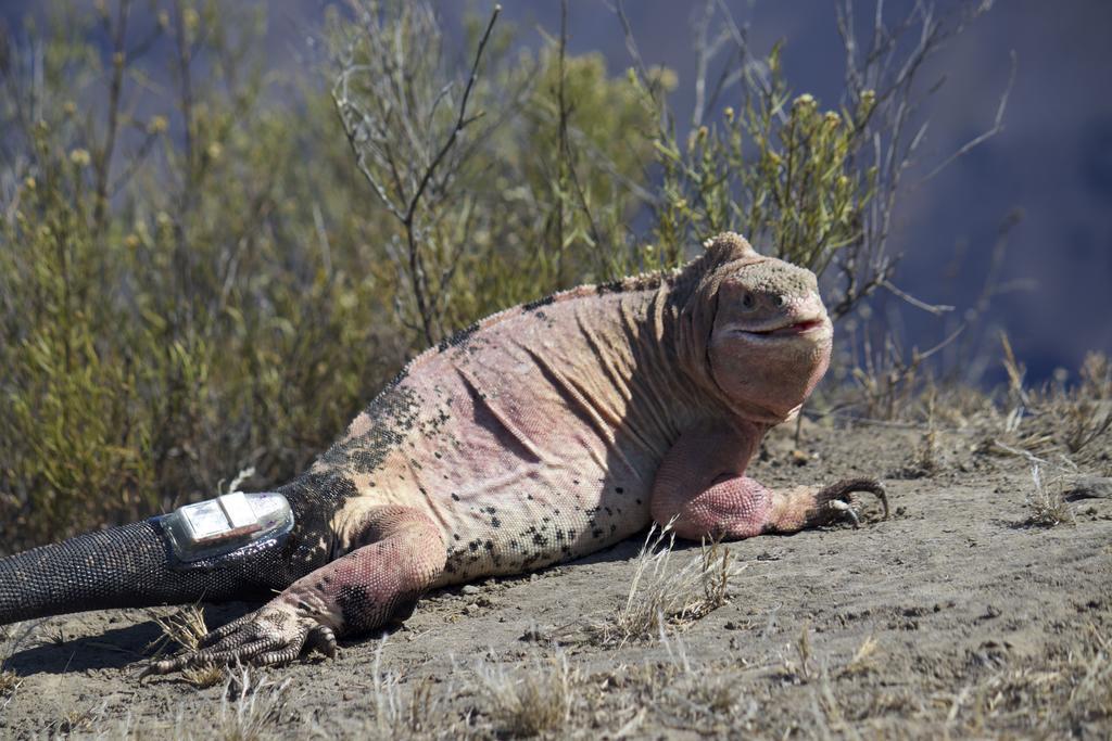 Pink iguana sporting its new tracker.
