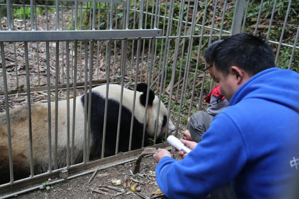 Gearing up. This female panda is the mother of a youngster who is being trained for release in a large natural enclosure. Mother and cub live together as the cub adapts to an environment similar to its future home The enclosures are so large that staff need to fit her with GPS collar to track her movements.