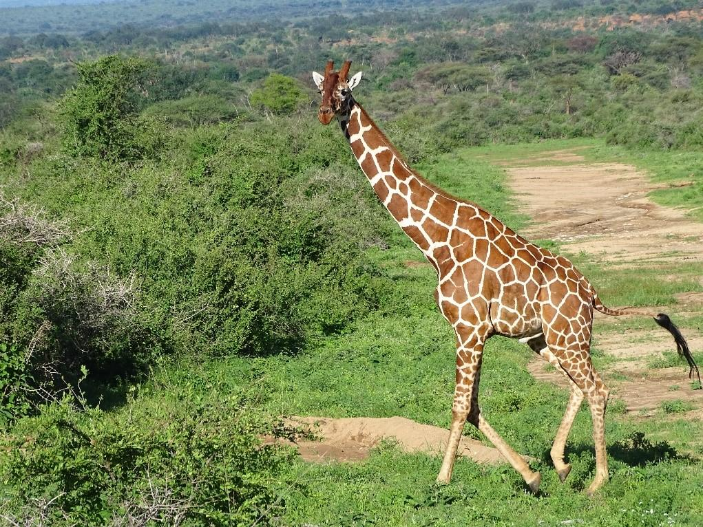 A male reticulated giraffe in Namunyak Conservancy.