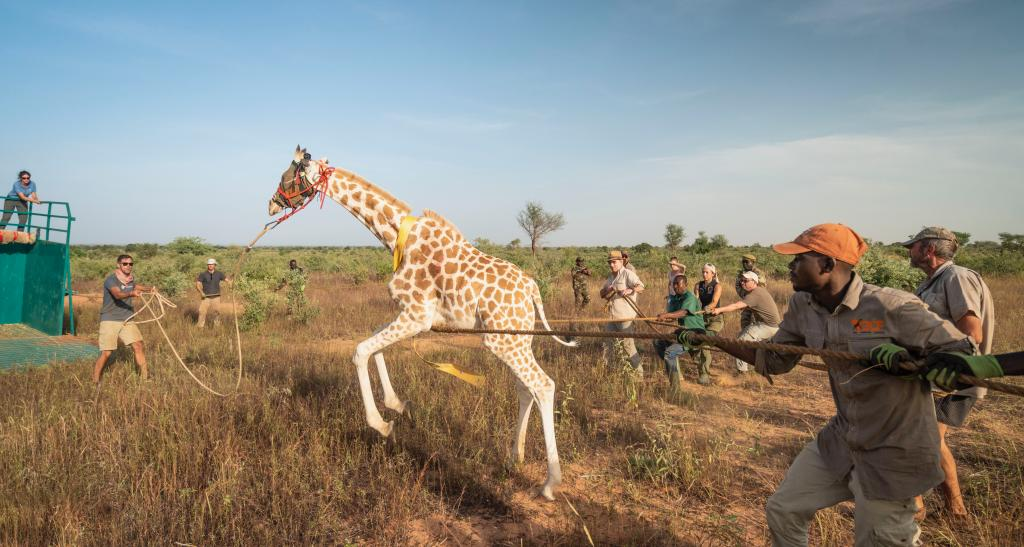 A young female West African giraffe is being guided to the chariot that will take her to a specially made Boma before being moved safely and successfully 800km to the release site. Photo by GCF/Sean Viljoen.