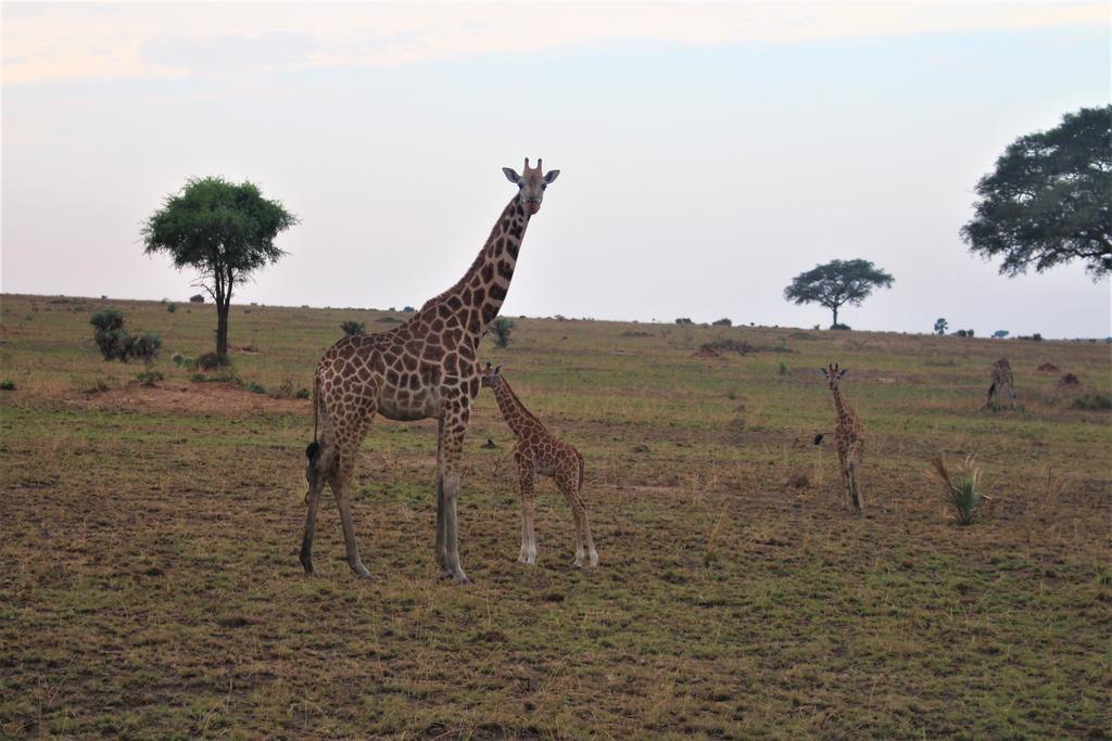 Critially endangered Nubian giraffe in Murchison Falls National Park.