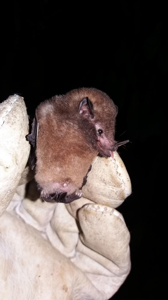 Glossophaga soricina: Juvenile female bat captured inside a montane forest on the outskirts of Chanchamayo. Photo credit Orlando Zegarra